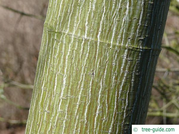 striped maple (Acer pensylvanicum) trunk