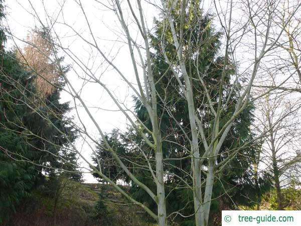 striped maple (Acer pensylvanicum) in winter