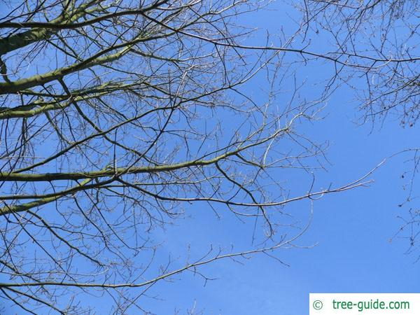 sugar maple (Acer saccharum) branches in winter