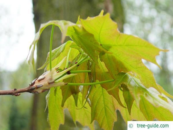 sugar maple (Acer saccharum) budding