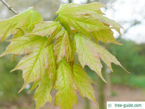 sugar maple (Acer saccharum) leaves