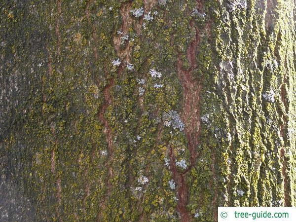 sugar maple (Acer saccharum) trunk / bark