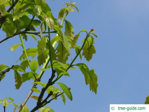 swamp white oak (Quercus bicolor) budding
