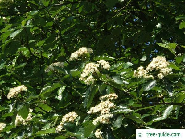 swedish whitebeam (Sorbus intermedia) flowers