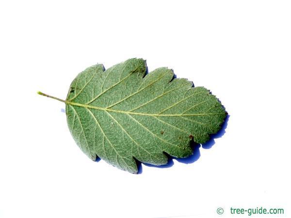 swedish whitebeam (Sorbus intermedia) leaf underside
