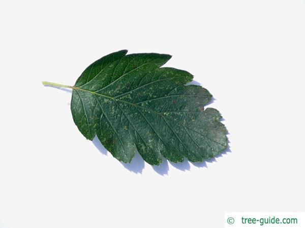 swedish whitebeam (Sorbus intermedia) leaf