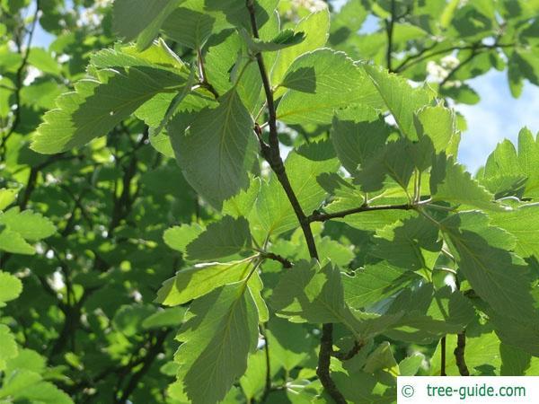 swedish whitebeam (Sorbus intermedia) leaves