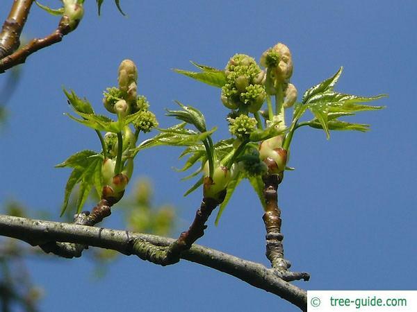 sweetgum (Liquidambar styraciflua) flower