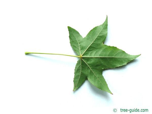 sweetgum (Liquidambar styraciflua) leaf underside
