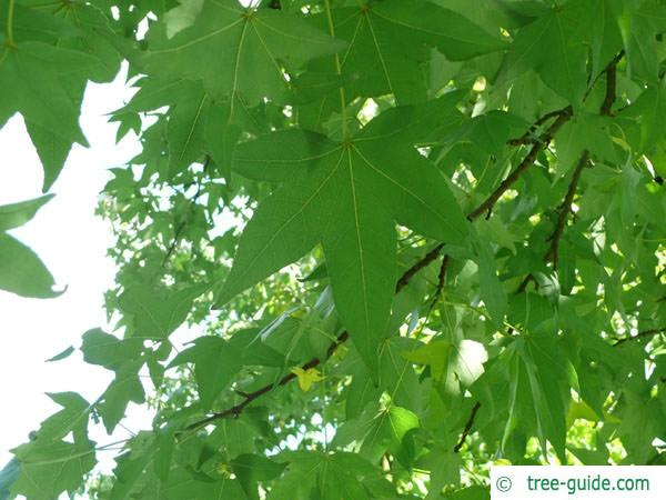 sweetgum (Liquidambar styraciflua) leaves