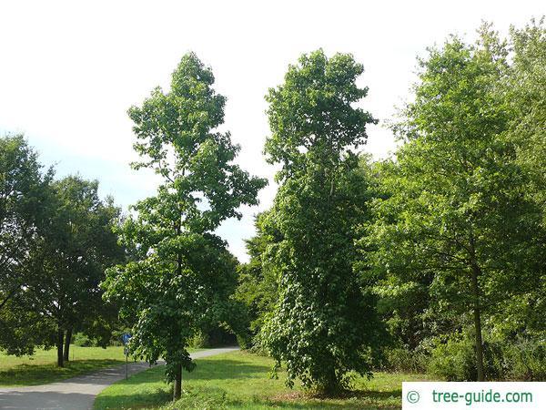 sweetgum (Liquidambar styraciflua) tree in summer