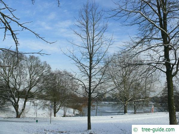 sweetgum (Liquidambar styraciflua) tree in winter