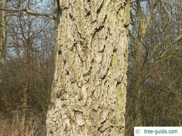 sweetgum (Liquidambar styraciflua) trunk