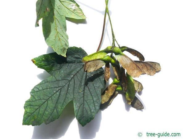 sycamore maple (Acer pseudoplatanus) fruit