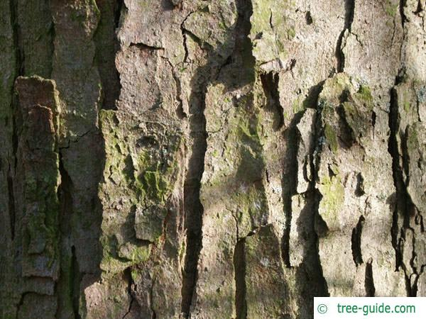 sycamore maple (Acer pseudoplatanus) trunk and bark