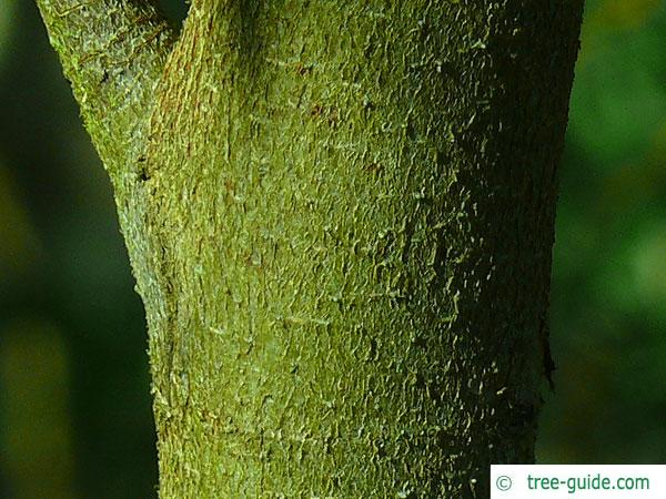 tasmanian snow gum (Eucalyptus coccifera) trunk / bark