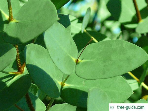 tasmanian snow gum (Eucalyptus coccifera) leaves