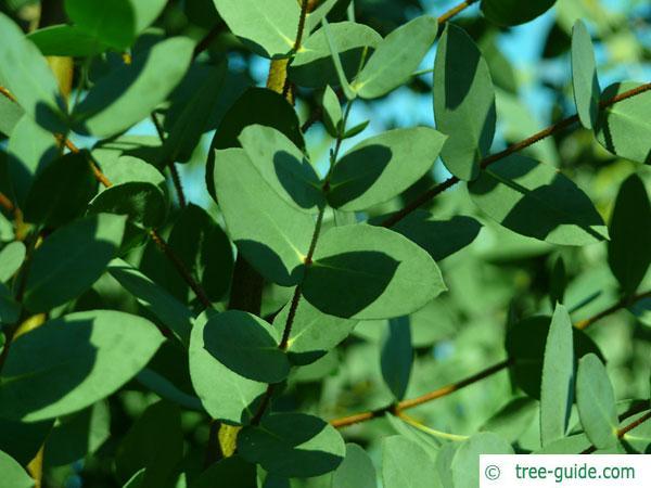 tasmanian snow gum (Eucalyptus coccifera) twig and leaves