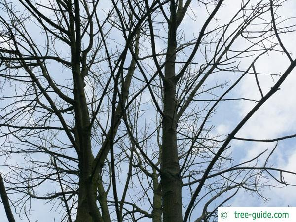 texas ash (Fraxinus texensis) crown winter