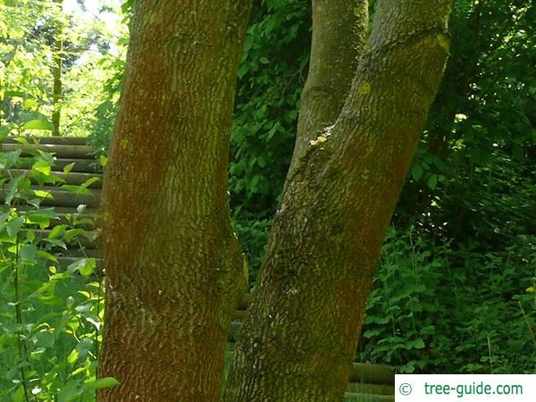 texas ash (Fraxinus texensis) trunk
