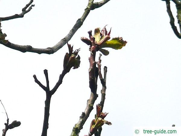 tree of heaven (Ailanthus altissima) budding