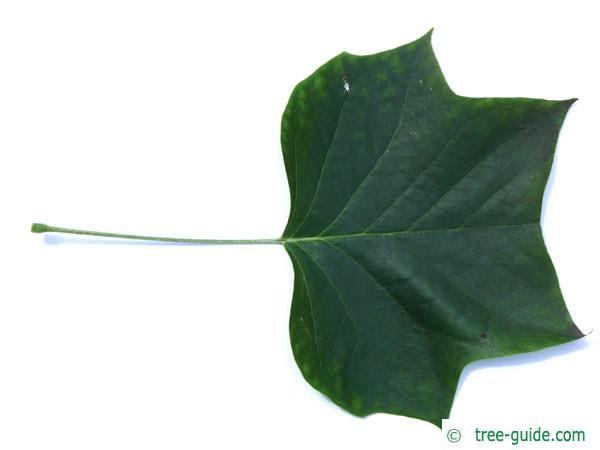 tulip tree (Liriodendron tulipifera) leaf