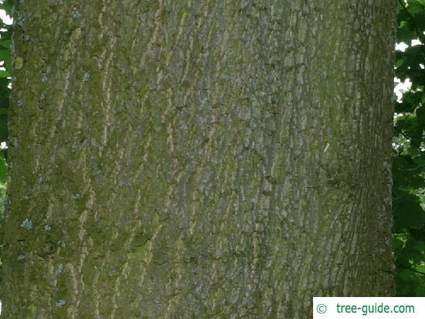 tulip tree (Liriodendron tulipifera) trunk