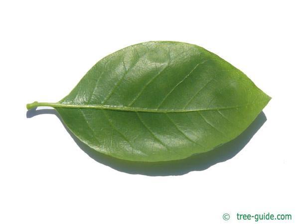 tupelo (Nyssa sylvestris) leaf underside