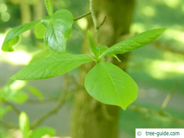 tupelo (Nyssa sylvestris) leafstellung
