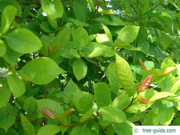 tupelo (Nyssa sylvestris) leaves