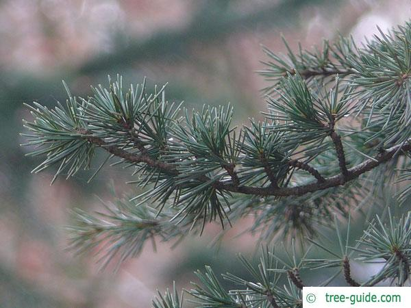 turkish cedar (Cedrus libani subsp. stenocoma) branch