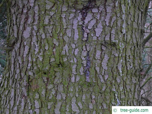 turkish cedar (Cedrus libani subsp. stenocoma) trunk / bark