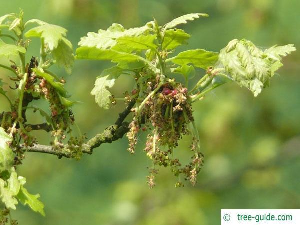 turkish oak (Quercus zerris) flower
