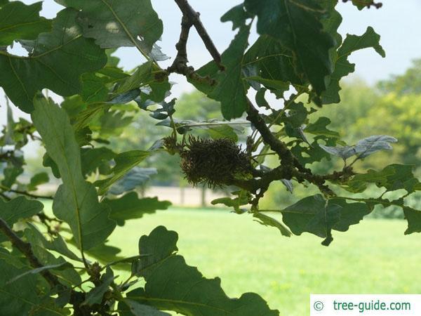 turkish oak (Quercus zerris) fruits / acorns