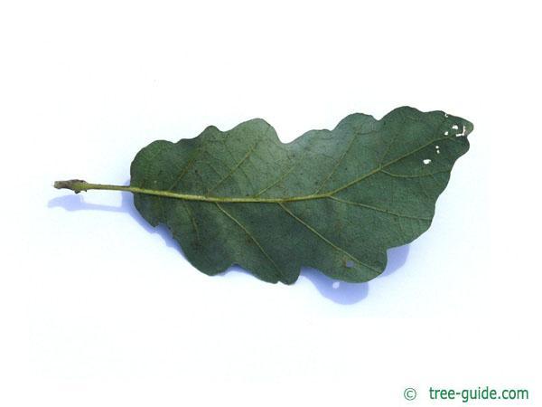 turkish oak (Quercus zerris) leaf underside