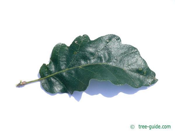 turkish oak (Quercus zerris) leaf