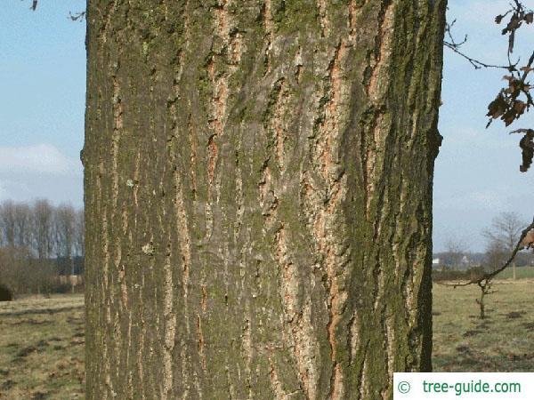 turkish oak (Quercus zerris) trunk / bark
