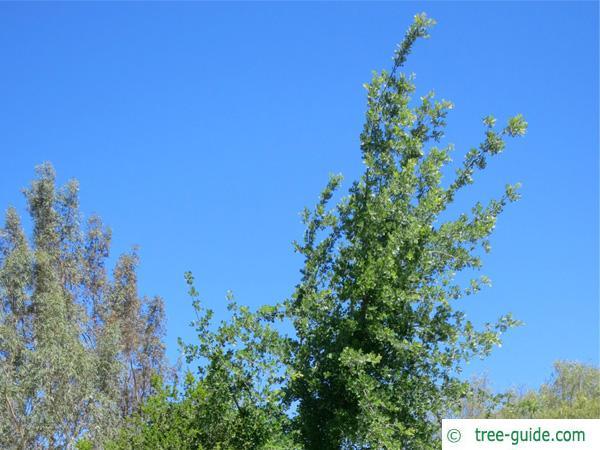 valley oak (Quercus lobata) crown