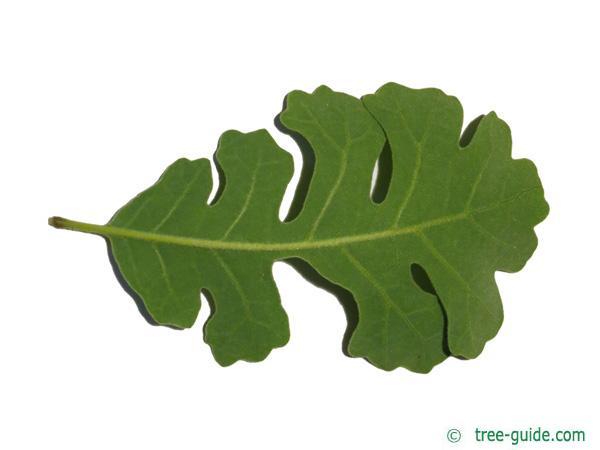 valley oak (Quercus lobata) leaf underside
