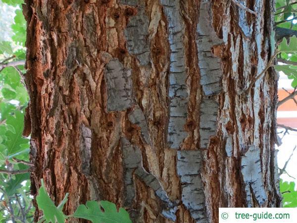 valley oak (Quercus lobata) trunk