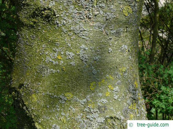 vine-leaved maple (Acer cissifolium) trunk / bark