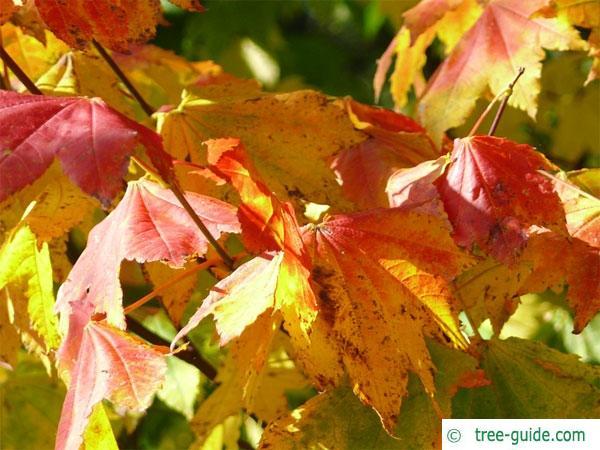 vine maple (Acer circinatum) in autumn