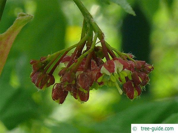 vine maple (Acer circinatum) flower