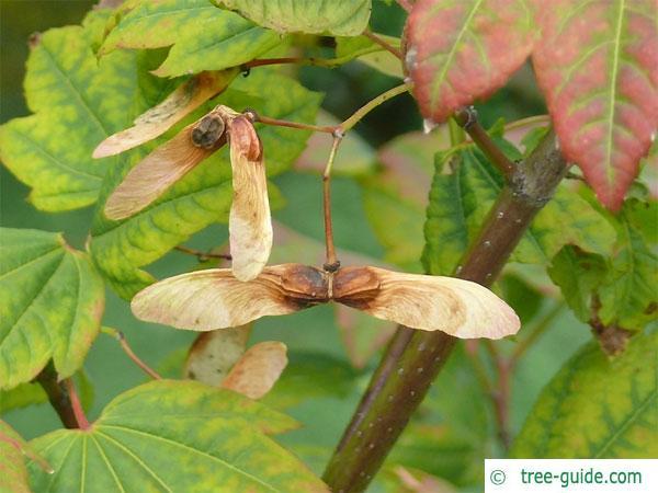 vine maple (Acer circinatum) fuit in autumn