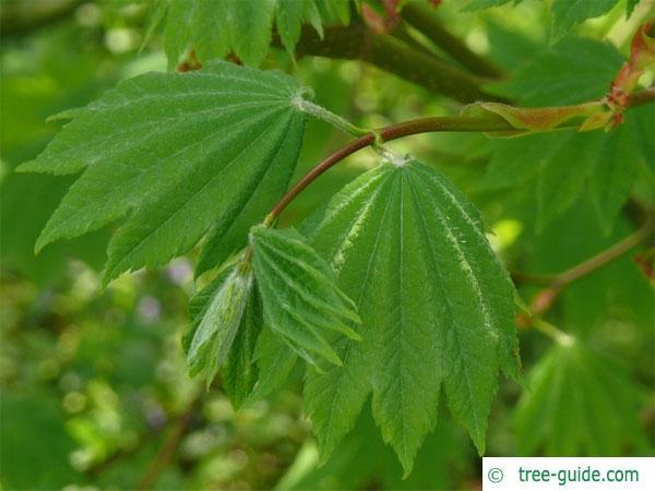 vine maple (Acer circinatum) leaves in summer