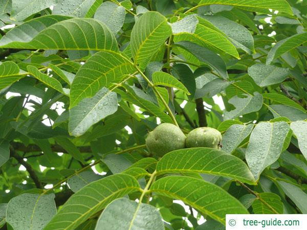 common walnut (Juglans regia) leaves and fruits