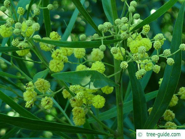 water wattle (Acacia retinodes) blossom