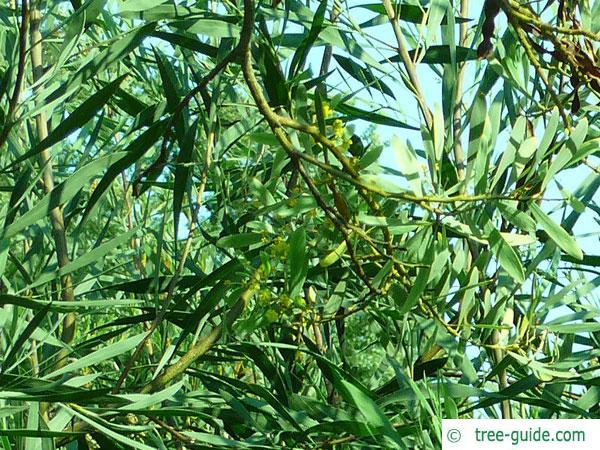 water wattle (Acacia retinodes) blossoms