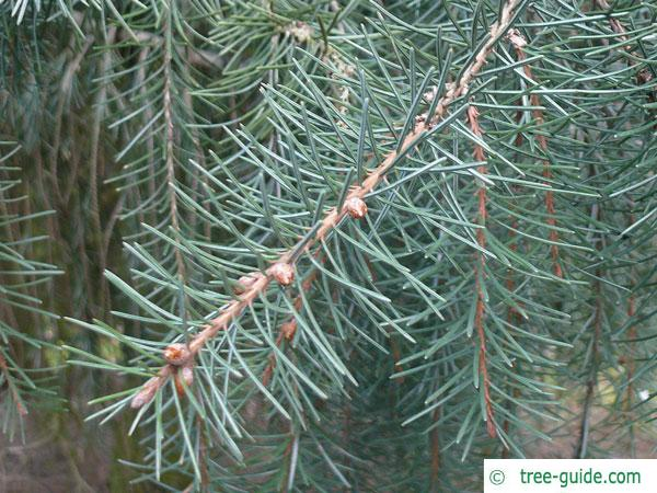 weeping spruce (Picea breweriana) branch