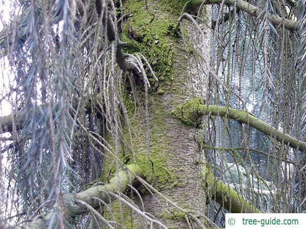 weeping spruce (Picea breweriana) trunk / bark